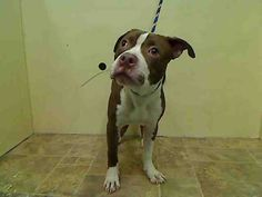 BABY SAFE❤️ - 04/11/15 - BABY ALERT - URGENT - PETEY – A1032267 – MANHATTAN, NY, Male Tan/White Pit Bull Mix, 8 Mos., STRAY, Intake Date 04/05/15