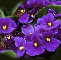 Como cuidar de violetas. As violetas são uma planta de interior bem popular por todo o mundo. Na Grécia Antiga representava o amor entre Zeus e sua sacerdotisa e, atualmente, oferecer uma violeta é símbolo de amor modesto e l...
