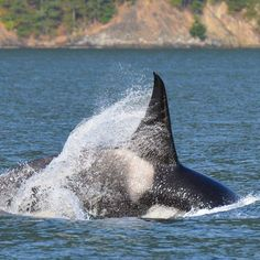 """""""Last nights sunset cruise was epic!! We found the T46's in Howe Sound! This particular guy is T46E, a 12 year old sub adult male. They spent about half an…"""""""
