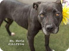 ●5•17•16 SL●SUPER URGENT! High kill L.A. shelter! Labrador Retriever Mix Dog for adoption in Los Angeles, California - MISS. MERLE