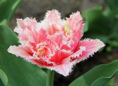 Fringed Tulip 'Pink Fountain'