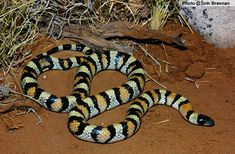 Arizona Milksnake (Lampropeltis triangulum) Navajo County, Arizona