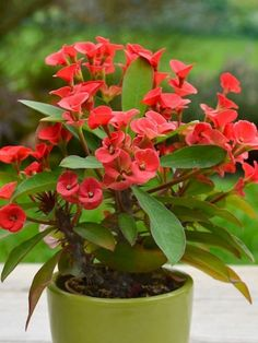 Crown of thorns! Euphorbia milii is a succulent climbing shrub growing to 6 feet m) tall. Grayish-brown, sided stems, branched and up to 3 feet. Flower Pots, Indoor Flowers, Portulaca Flowers, Euphorbia Flower, Planting Succulents, Euphorbia Milii, Flower Seeds, Crown Of Thorns Plant, Planting Flowers