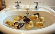 "This reminds me of ""George"" and ""Sally"".  Two ducklings that I had when I was about 5 years old.  I have a picture of them swimming in our bathroom sink ! :o)"