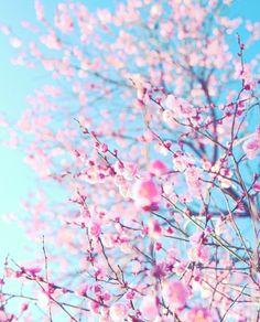 桜 Sakura Cherry Blossom, Cherry Blossoms, Beautiful Flowers, Beautiful Pictures, Dallas Museums, Pink Nature, Cherry Tree, Pink Aesthetic, Botanical Gardens