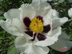 Пион Рока отличается морозпстойкостями и засухами , к тому же он имеет высокая растения , большие и красочные армотые цветы . Каскадный Букет, Нарциссы, Посадка Цветов, Сады, Цветы