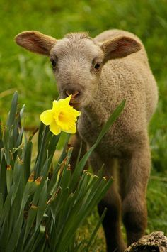 Happy Easter - Lamb with Narcissis card. Personalize any greeting card for no additional cost! Product ID: 144555 Cute Baby Animals, Farm Animals, Beautiful Creatures, Animals Beautiful, Spring Lambs, Easter Lamb, Sheep And Lamb, Spring Photos, Farm Life