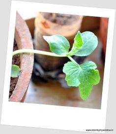 Urban Edens: Growing Ash Gourd/Kumbalakayi/Kaddu