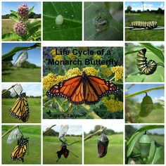 Lifecycle of a Monarch butterfly.