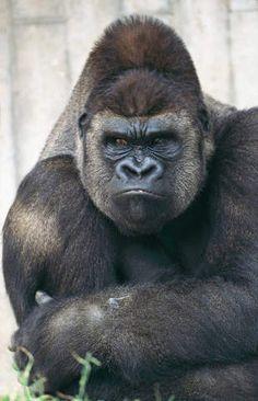 Photo Print Gorilla gorilla Flachlandgorilla Affe by Dieter Höll Primates, Mammals, Nature Animals, Animals And Pets, Funny Animals, Cute Animals, Gorilla Tattoo, Gorilla Gorilla, Gorillas In The Mist