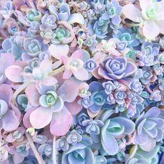 Pastel Succulent Sedum Ground Covering Succulents Follow me on Instagram @tinarago
