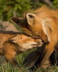 Feltétel nélküli szeretet.😘😘 Fabulous Fox, Fantastic Fox, Coyotes, Wild Dogs, Mammals, Animals And Pets, Cute Animals, Baby Animals, Beautiful Creatures