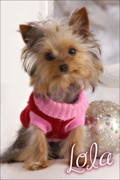 DOG LOST - HUNTSVILLE, AL (Hampton Cove area):    Lola, a Yorkie, has been missing for the past few hours and doesn't have her collar on. This tiny little dog is missing from the Taylor Rd area in Hampton Cove. She is about the size of a little squirrel and doesn't have a collar on. She got out during the storm this evening. Her family is devastated!   Contact Sherill Metz: (256) 337-8887