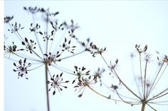 Google Image Result for http://www.sheilasimphoto.com/perch/resources/cowparsley049.jpg