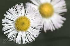 Little Daisy - Miniature wildflowers