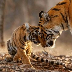 Big Animals, Nature Animals, Cute Baby Animals, Big Cats, Cats And Kittens, Big Cat Species, Cubs Pictures, Amazing Beasts, Photo To Cartoon
