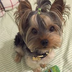 Mom thinks I am all greasy and that I need a bath! 😧 Mom you are cray cray, I look fabulous! 🐾😁❤️ via yorkiebaby_nickhttp://bit.ly/2fE4Y4M   Found at: http://itsayorkielife.com/mom-thinks-i-am-all-greasy-and-that-i-need-a-bath/  #Yorkies,#YorkshireTerriers,#YorkshireTerrierLove,#ItsaYorkieLife