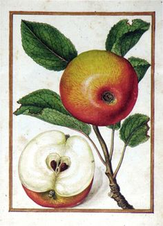 Jacques Le Moyne de Morgues (French, c. 1533 – 1588), Apple, c. 1580, watercolor and gouache on paper prepared as vellum, From the collection of Arader Galleries