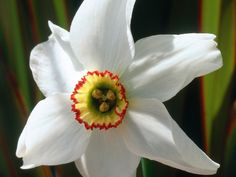 Narcissus, pheasant's eye, is a late blooming, fragrant daffodil with large, white, reflexed petals and a small, yellow cup, edged red with a green eye.