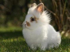 Lionhead Rabbit. I want one of these too! I guess I will live somewhere with a big grass field in the backyard where all my animals can have fun and my husband and I will love them more than this world<3 (: