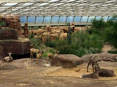 Some of the landscape in the sonoran desert of Arizona in Burgers Desert, the large indoor desert in Burgers Zoo. Here seen with desert bighorn sheep in the front.