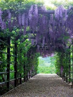 Wisteria - gorgeous - would love one of these in my backyard over the conversation pit