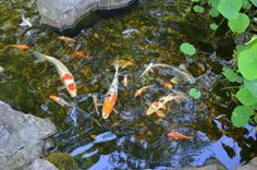 The Koi are swimming in a group around the stepping boulders in the pond. Bouldering, Koi, Jackson, Nursery, Swimming, Patio, Fish, Group, Painting