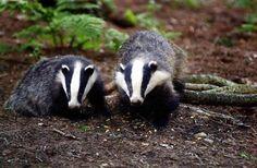 Badger badger badger.