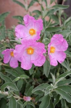 Rock Rose - Botanical name: Cistus spp  Common name: Rockrose  USDA zones: 7 to 10, depending on species  Water requirement: Little to none  Light requirement: Full sun  Mature size: 3 to 5 feet tall and wide  Benefits: Tolerates wind, coastal conditions, poor soil, drought and arid conditions; plant for erosion control or fire resistance    Shown here: Cistus x bornetianus 'Jester', zones 7 to 9