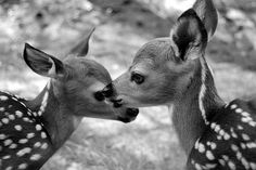Fawns beautiful black and white photograph