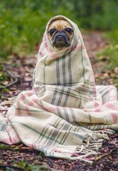"""E.T. Phone Home"", French Bulldog in a Blanket.❤️❤️"