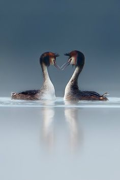 They live in the canal in front of my house and they are really elegant when they are seducing eachother <3