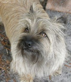 Cairn Terrier Pictures (3f3831r90b8)