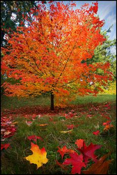 One of my favourite trees is the maple tree. Its colours in the autumn are beautiful! Fall Pictures, Nature Pictures, Imagen Natural, Tree Seedlings, Autumn Scenes, Tree Seeds, Maple Tree, Fall Harvest, Autumn Leaves