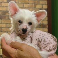 My new baby Chinese Crested puppy ! | Sooo cute | Pinterest | New ...