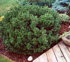 dwarf mugo pine Front Walkway Landscaping, Garden Landscaping, Landscaping Ideas, Mugo Pine, Plant Catalogs, Water Conservation, Permaculture, Garden Inspiration, Agriculture