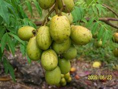 Caribbean Fruits   golden apple, otaheite apple, java plum, pommecythere