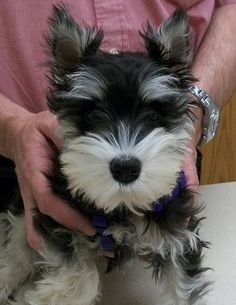 black and silver  mini schnauzer puppy oh what a darling darling little puppy