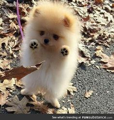 Adorable Little Baby Pomeranian Puppy having fun with the Autumn Leaves - Animals ~~Group Board - Tiny Puppies, Cute Dogs And Puppies, I Love Dogs, Doggies, Adorable Puppies, Cute Fluffy Puppies, Puppies Tips, Boxer Puppies, Dalmatian Puppies
