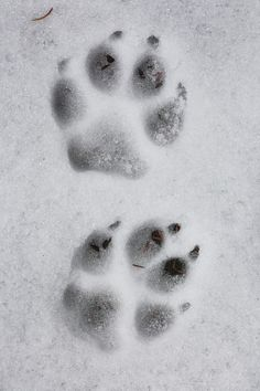 Wolf track in the snow by Christopher Barton #nature #woodland