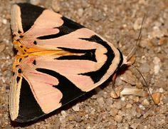 Erebid Moth (Attatha barlowi) | Bhubesi Camp, Hlane Royal Na… | Flickr