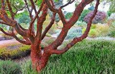 acer griseum (paperbark maple) - Google Search