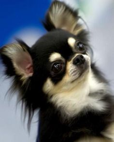 """Chihuahua: BISS GCH Jems The Dapper Don – """"Gotti"""" Breeder/Owner/Handler: Jessica Simon – Jem Chihuahuas"""