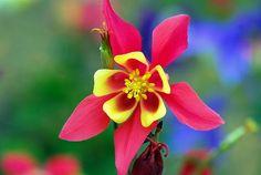 Audrey Allure: Sunday Flowers: Columbine Flowers