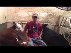 AgStar Purple Ribbon Video: Showing Cattle 365 Days A Year Agriculture Facts, Livestock Judging, Showing Cattle, Show Steers, Purple Ribbon, Ffa, Farm Life, Cows, Barn