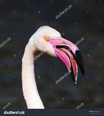 Resultado de imagem para flamingo beak