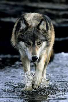 So glad I have a wolf board. Everyone should have a wolf board So beautiful! Wolf Photos, Wolf Pictures, Animal Pictures, Nature Photos, Wolf Spirit, My Spirit Animal, My Animal, Wolf Love, Bad Wolf