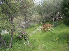 Languedoc  Cistus x purpureus f. holorhodus,  Cotyledon macrantha, Rhodanthemum hosmariense,  Artemisia canariensis, Ballota pseudodictamnus, wild lavender.