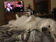 Meet Gampel, my mini American Eskimo 🐶 Gampel is a huge fan of Impractical Jokers :)