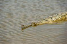 Afbeeldingsresultaat voor fish in ganges river